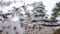 Tutto il mondo spera con la primavera dei ciliegi giapponesi